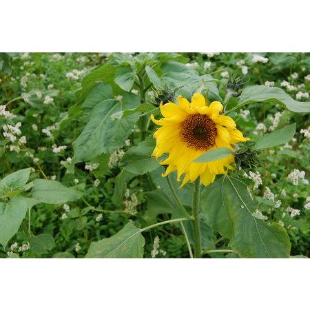 Ansaathilfe Bodenbedeckung Wildpflanze
