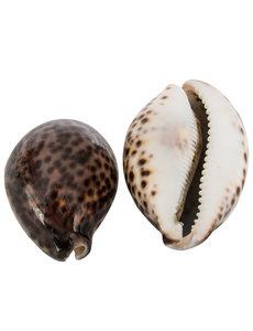 Kaurischelp / tijgerschelp