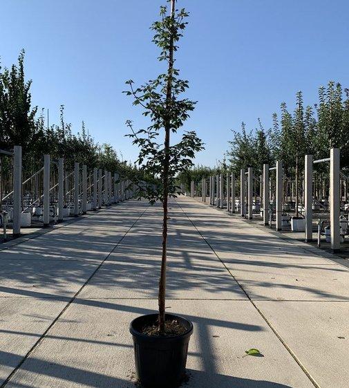Zimtahorn   Acer griseum