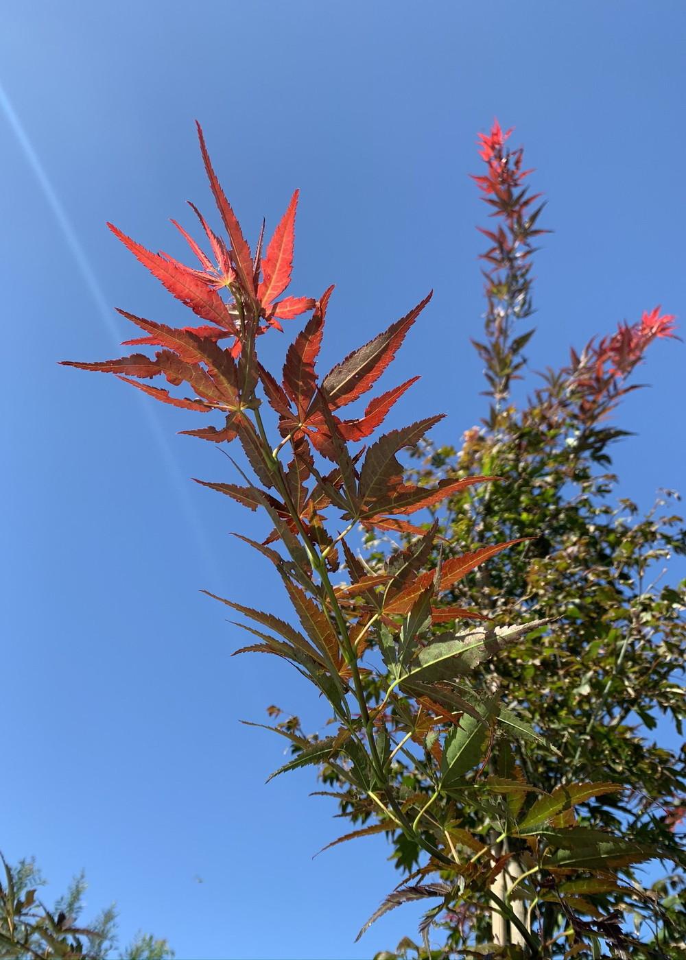 Roter Fächer-Ahorn Atropurpureum   Acer palmatum 'Atropurpureum'