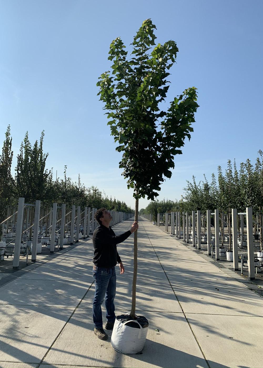 Spitz-Ahorn 'Columnare' | Acer platanoids 'Columnare'