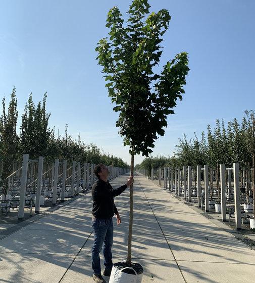 Säulenspitzahorn 'Columnare' | Acer platanoides 'Columnare'