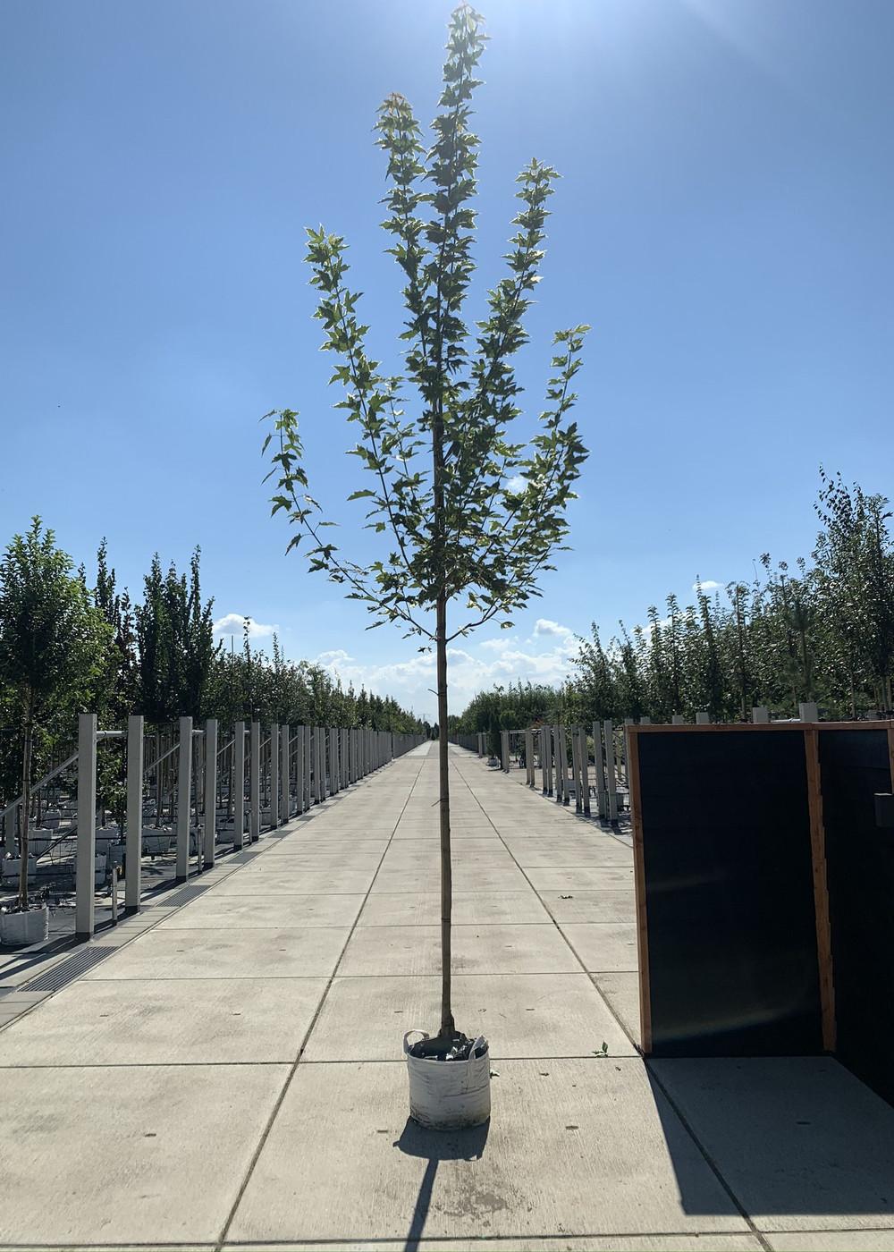 Spitzahorn Drummondii | Acer platanoids 'Drummondii'