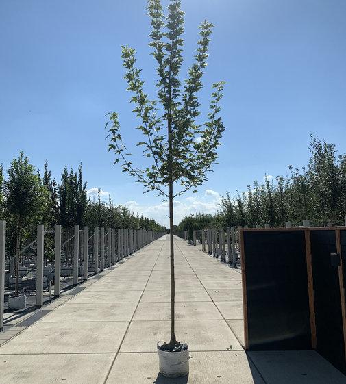 Spitzahorn Drummondii | Acer platanoides 'Drummondii'