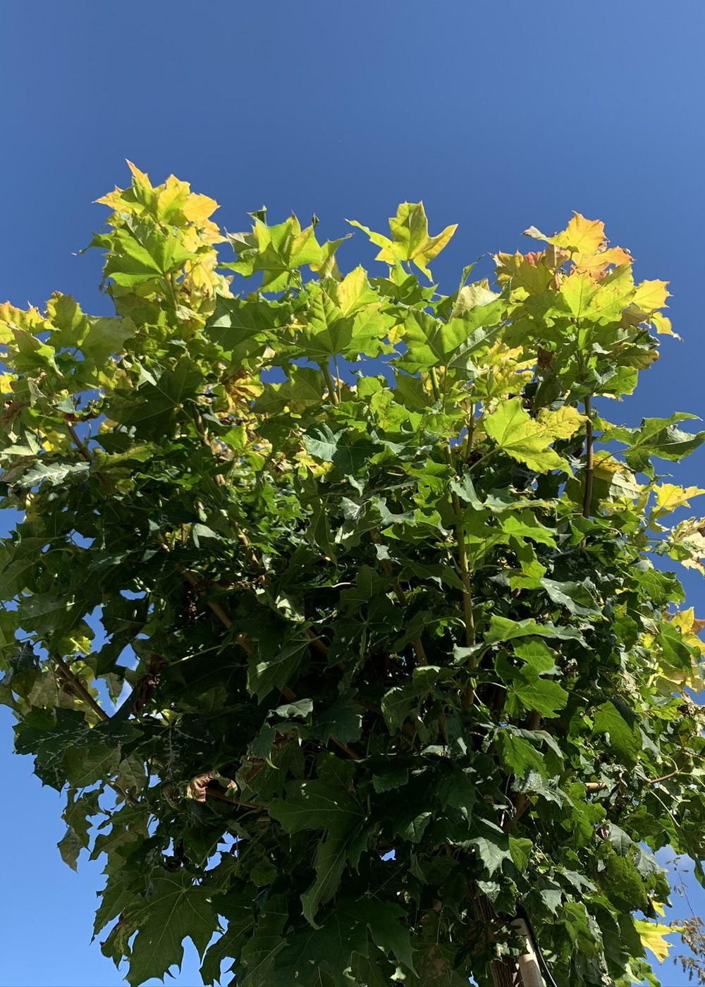 Goldkugelahorn   Acer platanoides 'Golden Globe'