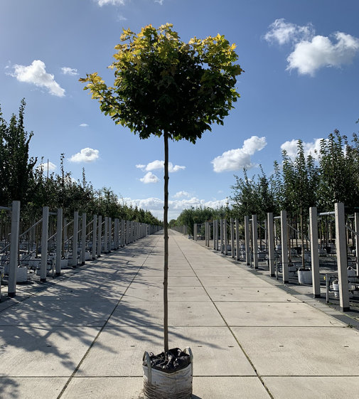 Goldkugelahorn | Acer platanoides 'Golden Globe'