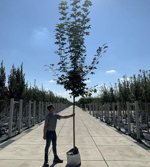 Bergahorn | Acer pseudoplatanus