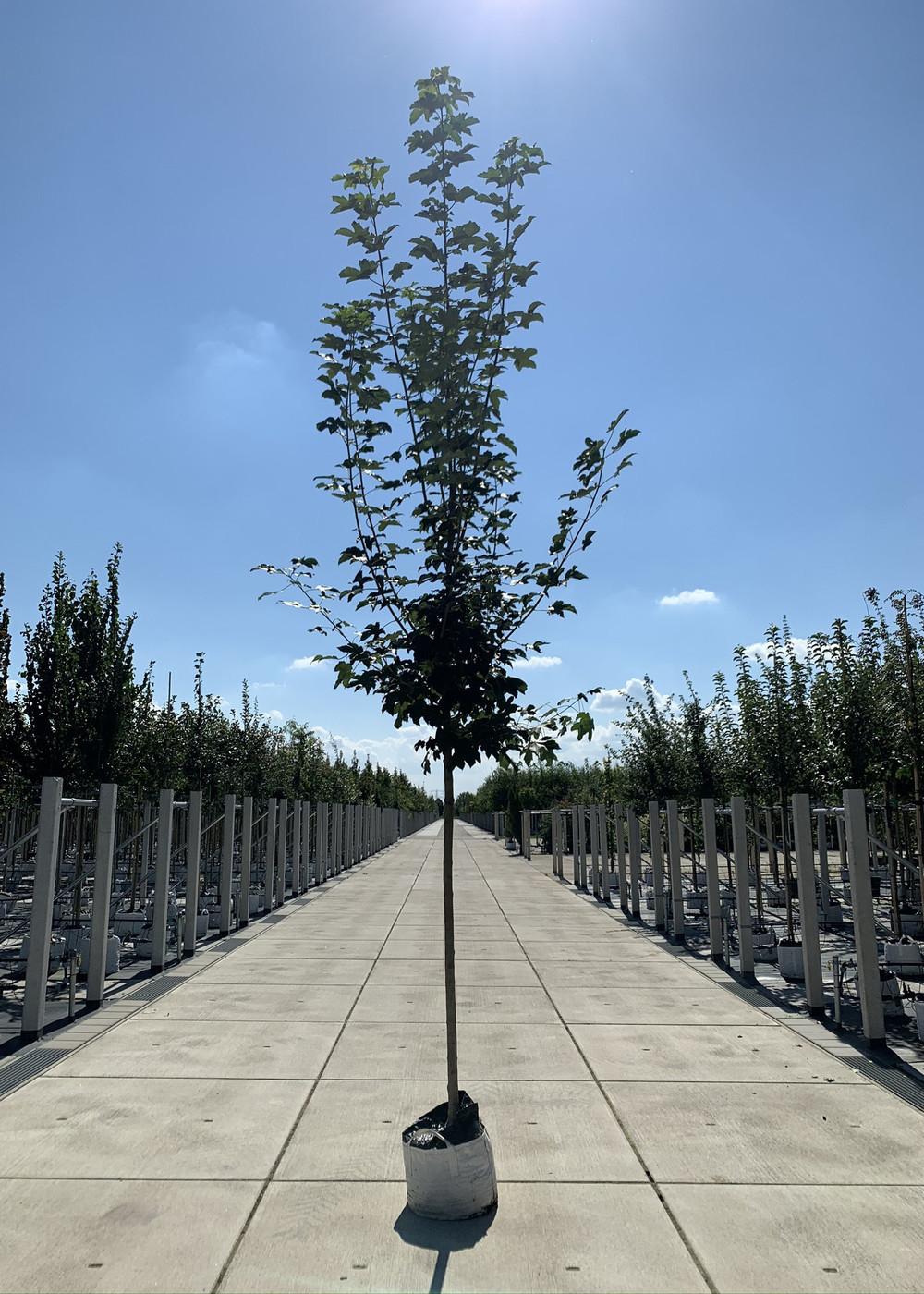 Bergahorn| Acer pseudoplatanus