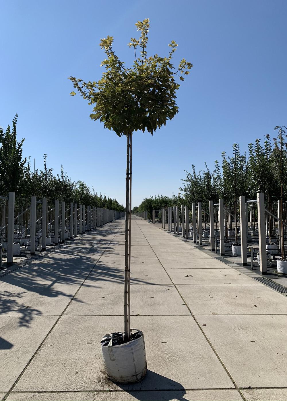 Berg-Ahorn Brilliantissimum | Acer pseudoplatanus 'Brilliantissimum'