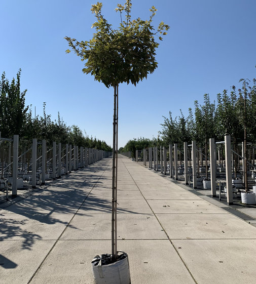 Bergahorn Brilliantissimum | Acer pseudoplatanus 'Brilliantissimum'
