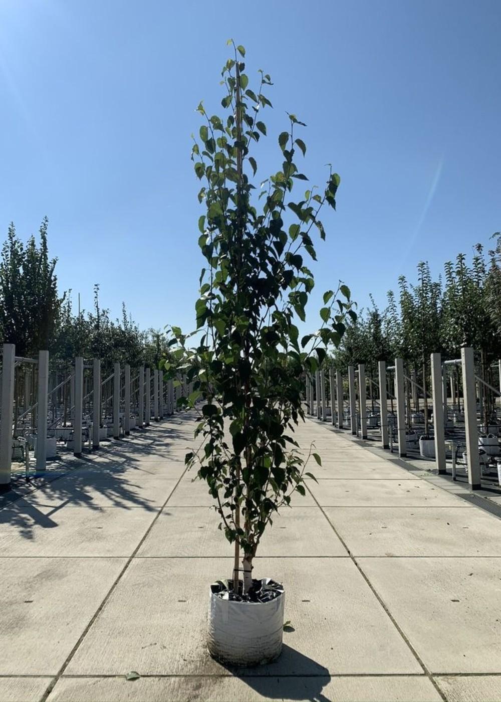 Kupferbirke Fascination | Betula albosinensis  'Fascination'