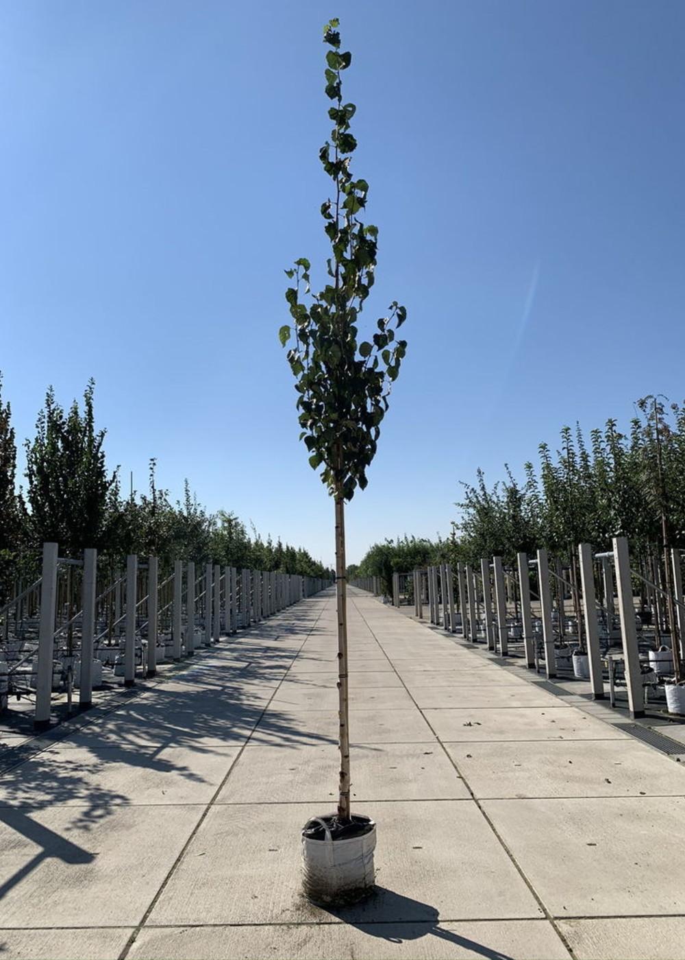 Goldbirke | Betula ermanii