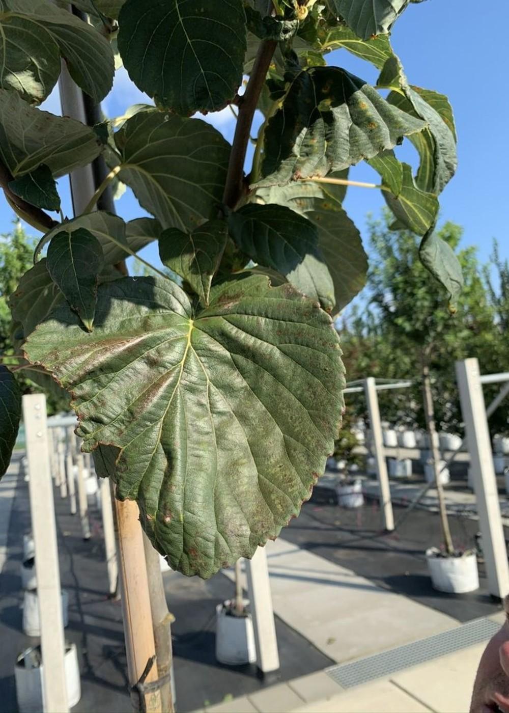 Taschentuchbaum Sonoma | Davidia involucrata 'Sonoma'