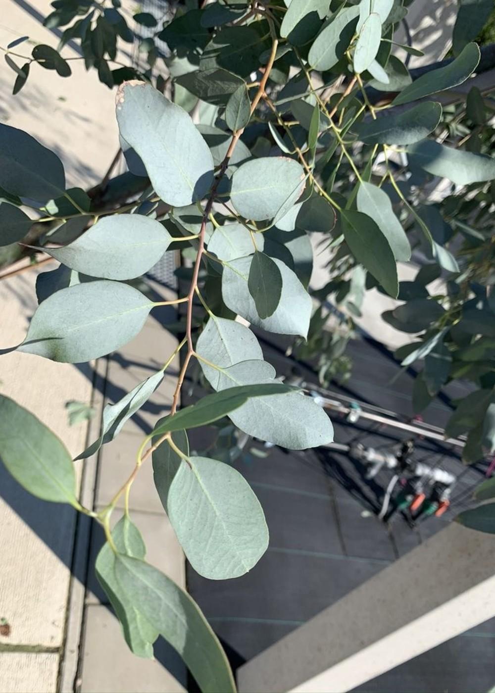 Echter Eukalyptus à Italia   Eucalyptus gunnii