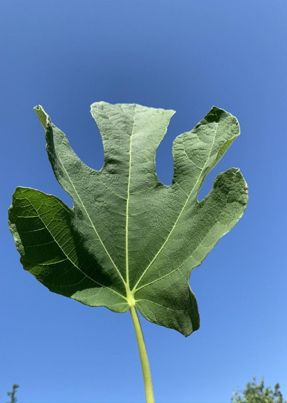 Feige | Ficus Carica