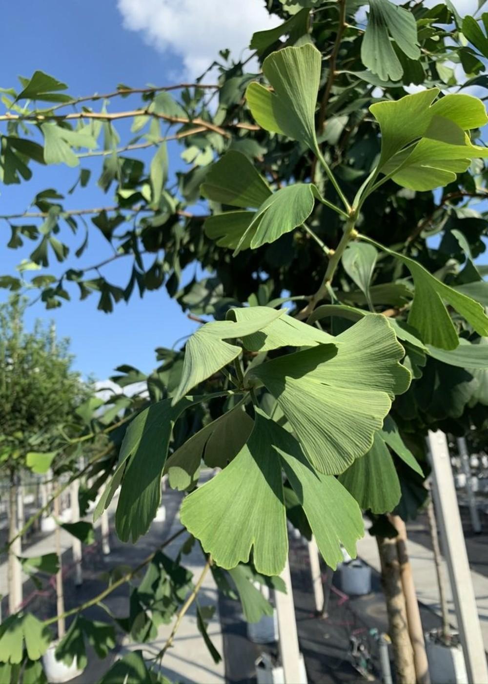 Fächerblattbaum | Ginkgo biloba