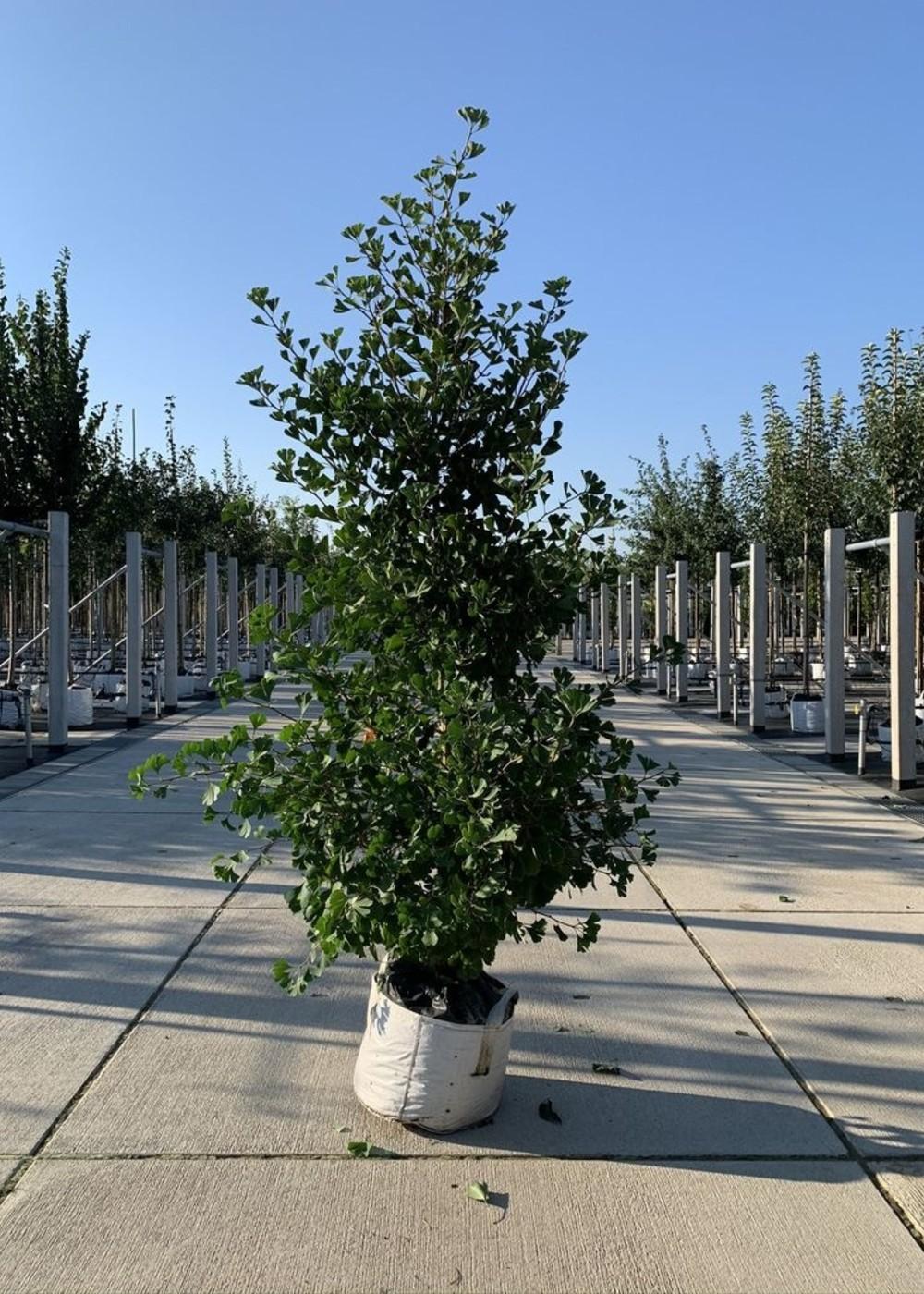 Säulen-Fächerblattbaum Blagon | Ginkgo biloba 'Fastigiata Blagon'