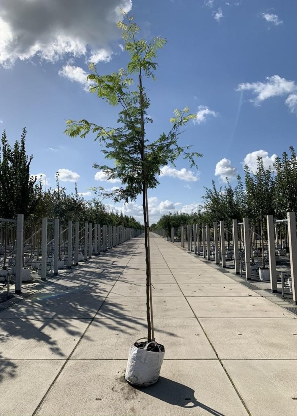Gelber Leder-hülsenbaum Sunburst   Gleditsia triacanthos 'Sunburst'