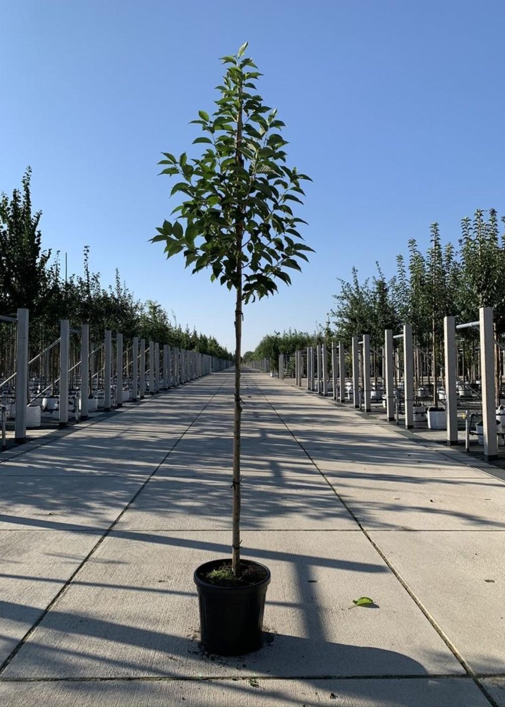 Schneeglöckchenbaum | Halesia carolina
