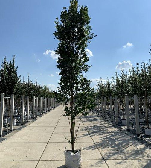 Säulen-Blasenbaum Fastigiata | Koelreuteria paniculata 'Fastigiata'