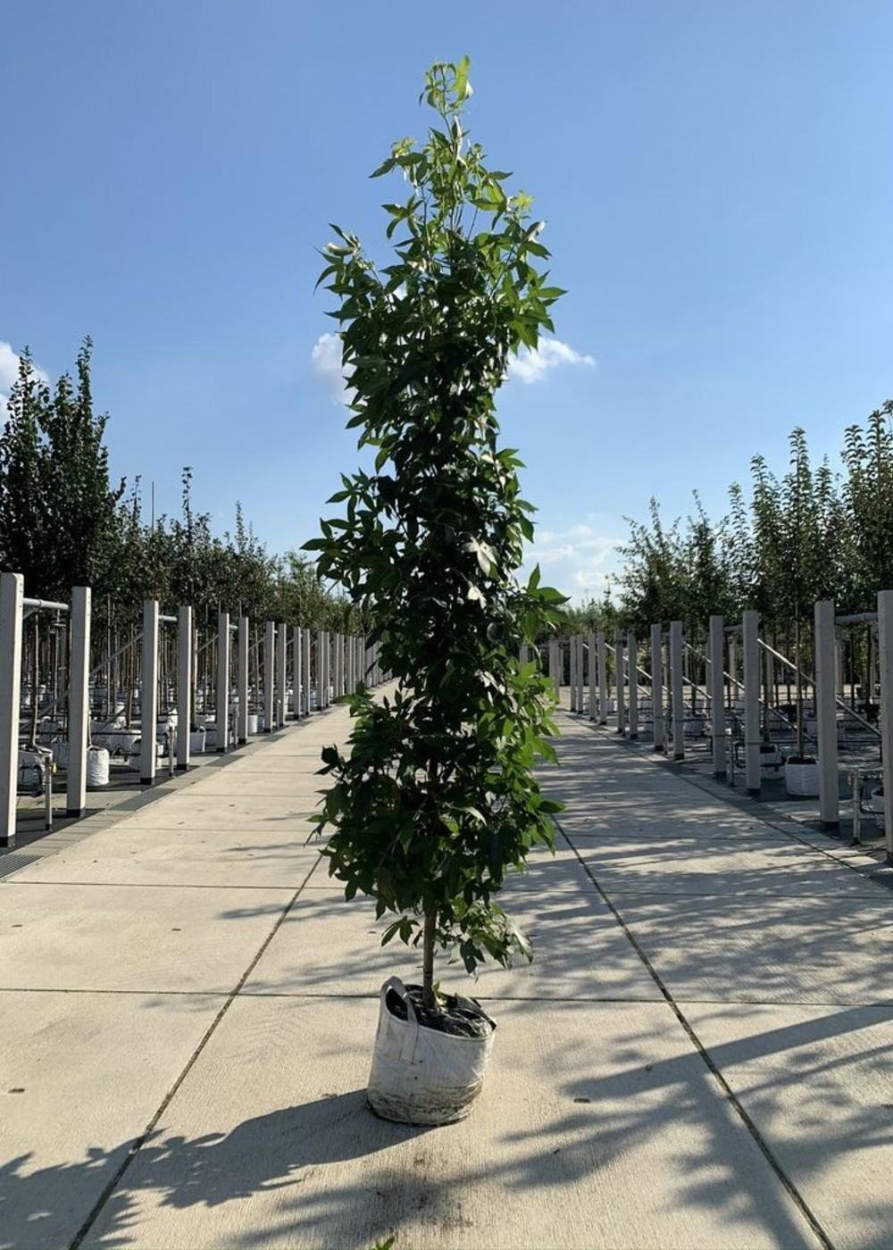 Säulen-Amberbaum | Liquidambar styraciflua 'Slender Silhouette'