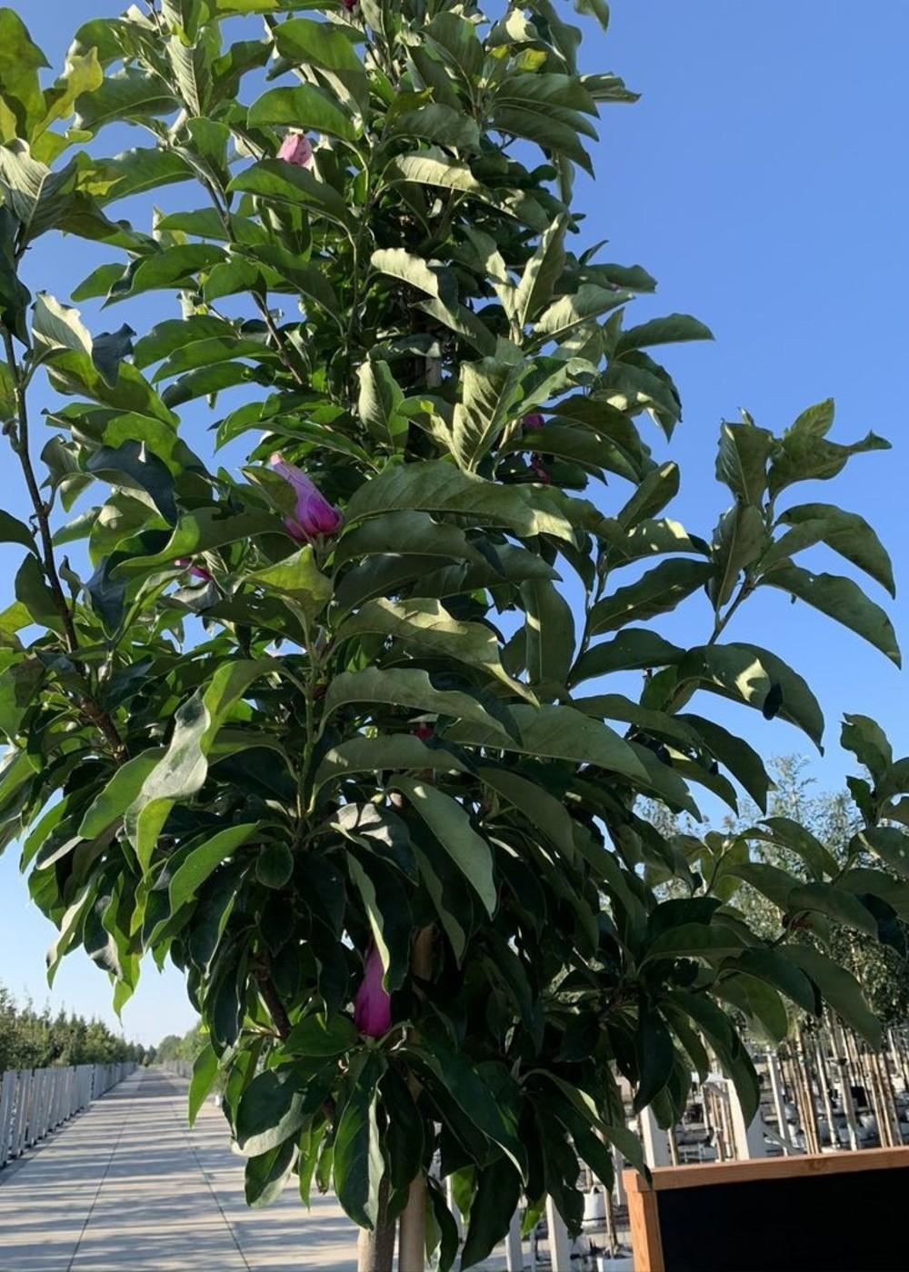 Purpur-Magnolie   Magnolia liliiflora 'Susan'