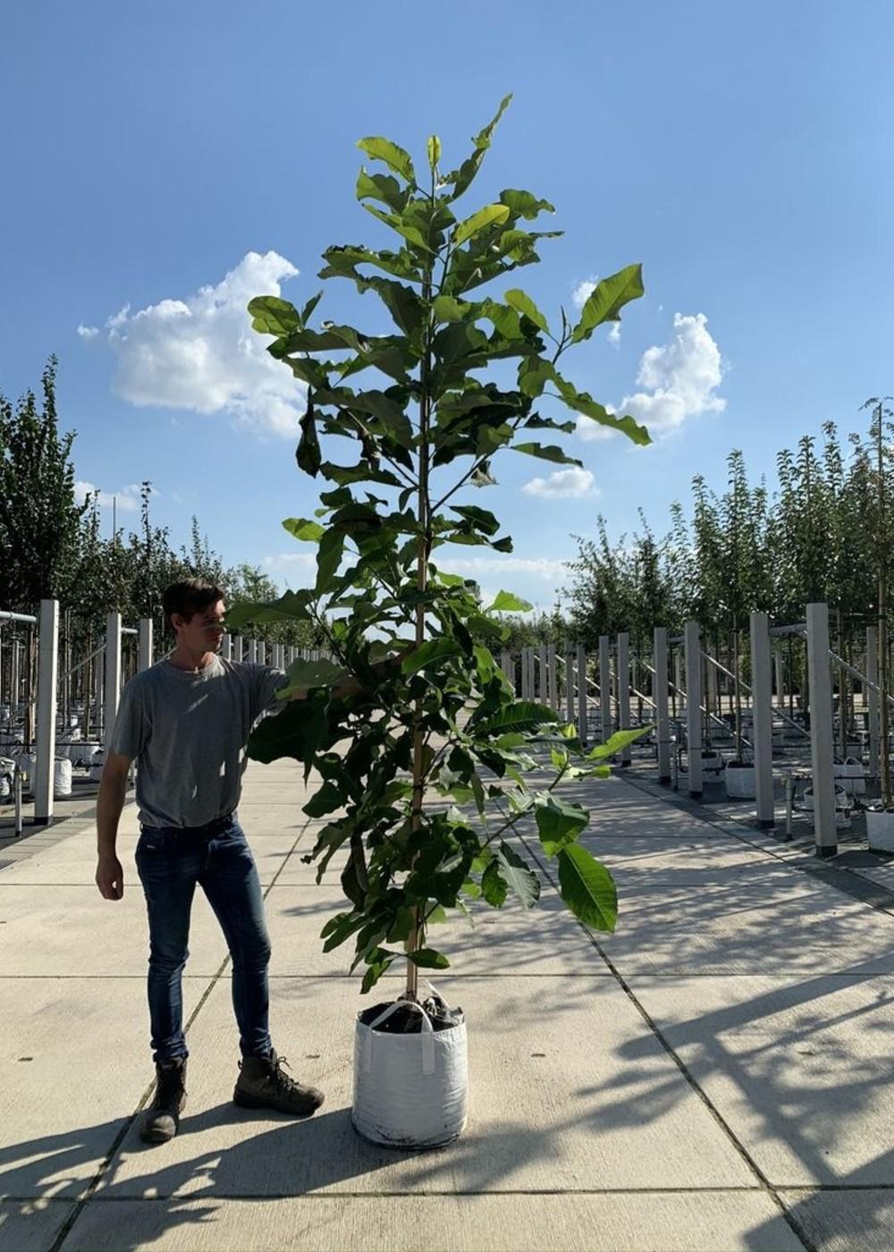 Schirm-Magnolie | Magnolia tripetala