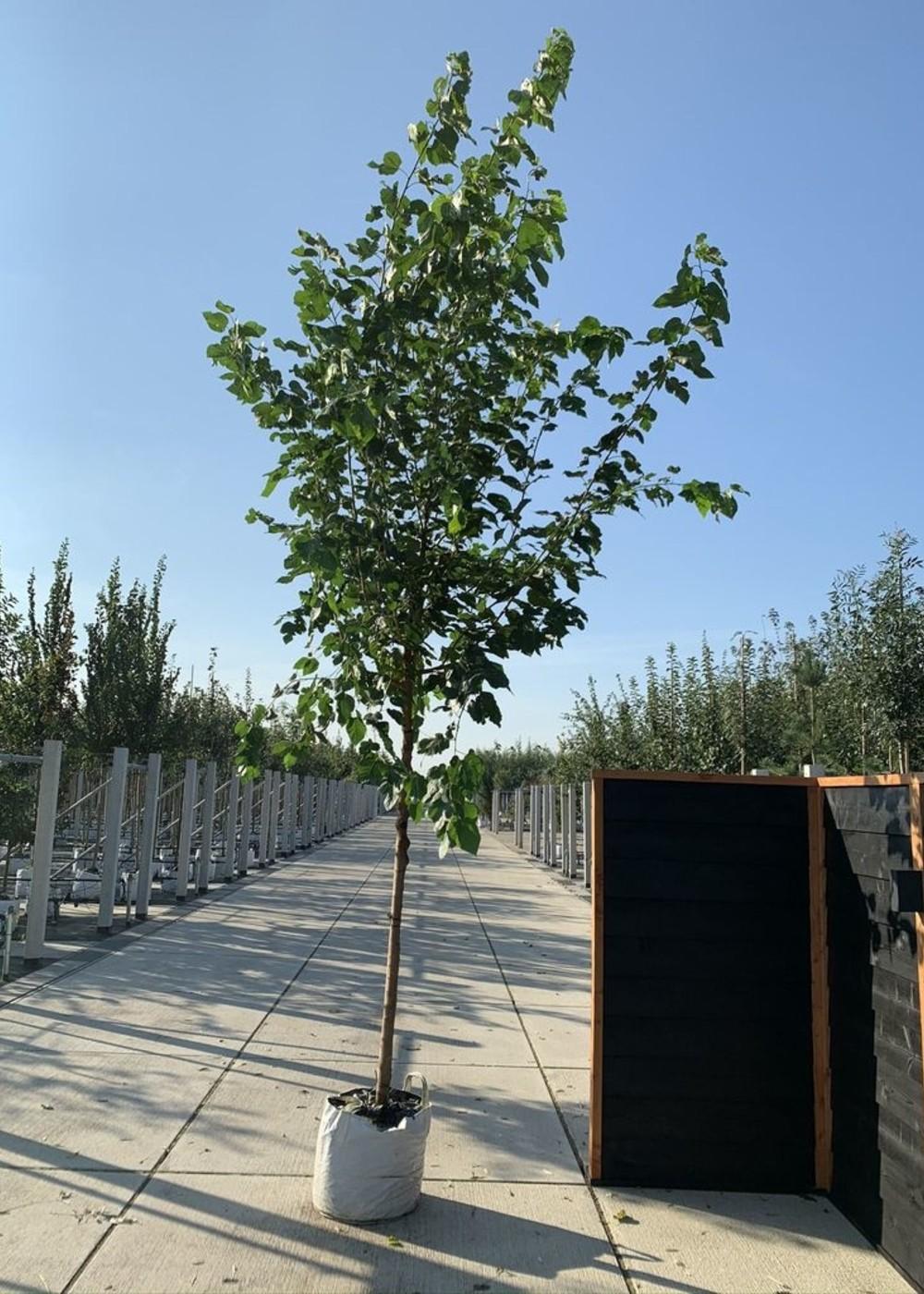 Weißer Maulbeerbaum 'Fruitless'   Morus alba 'Fruitless'