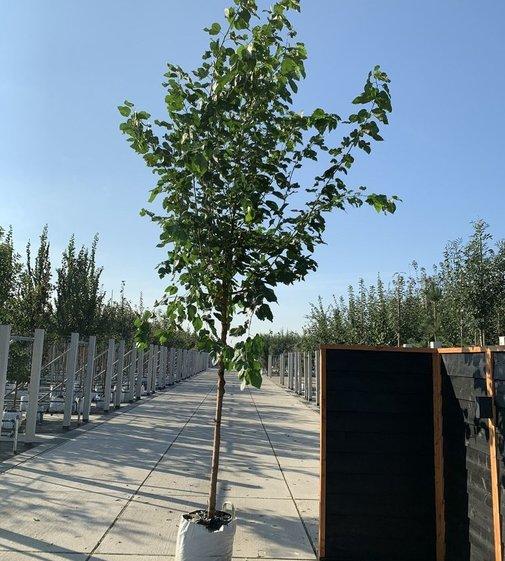 Weißer Maulbeerbaum 'Fruitless' | Morus alba 'Fruitless'
