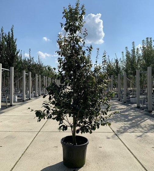 Eisenholzbaum Persian Spire | Parrotia persica 'Persian Spire'