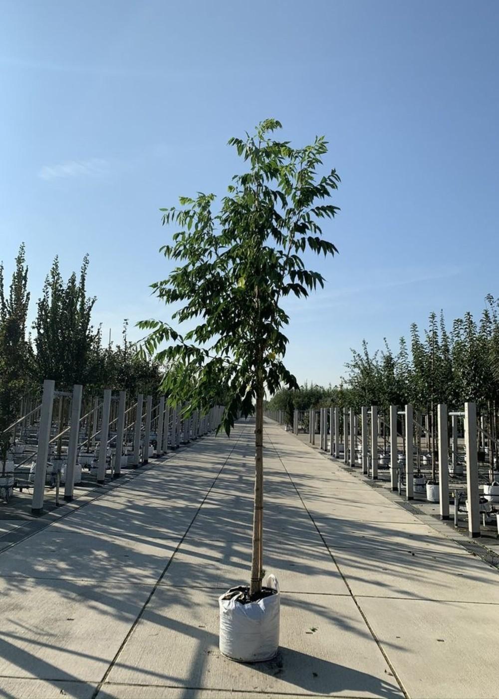 Echter Korkbaum   Phellodendron amurense