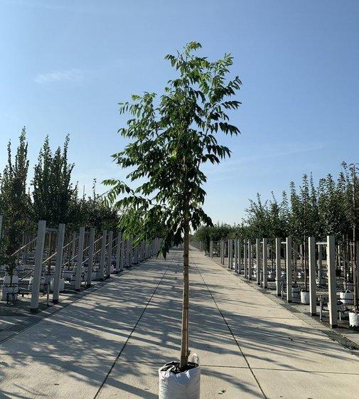 Echter Korkbaum  Amur-Korkbaum   Phellodendron amurense