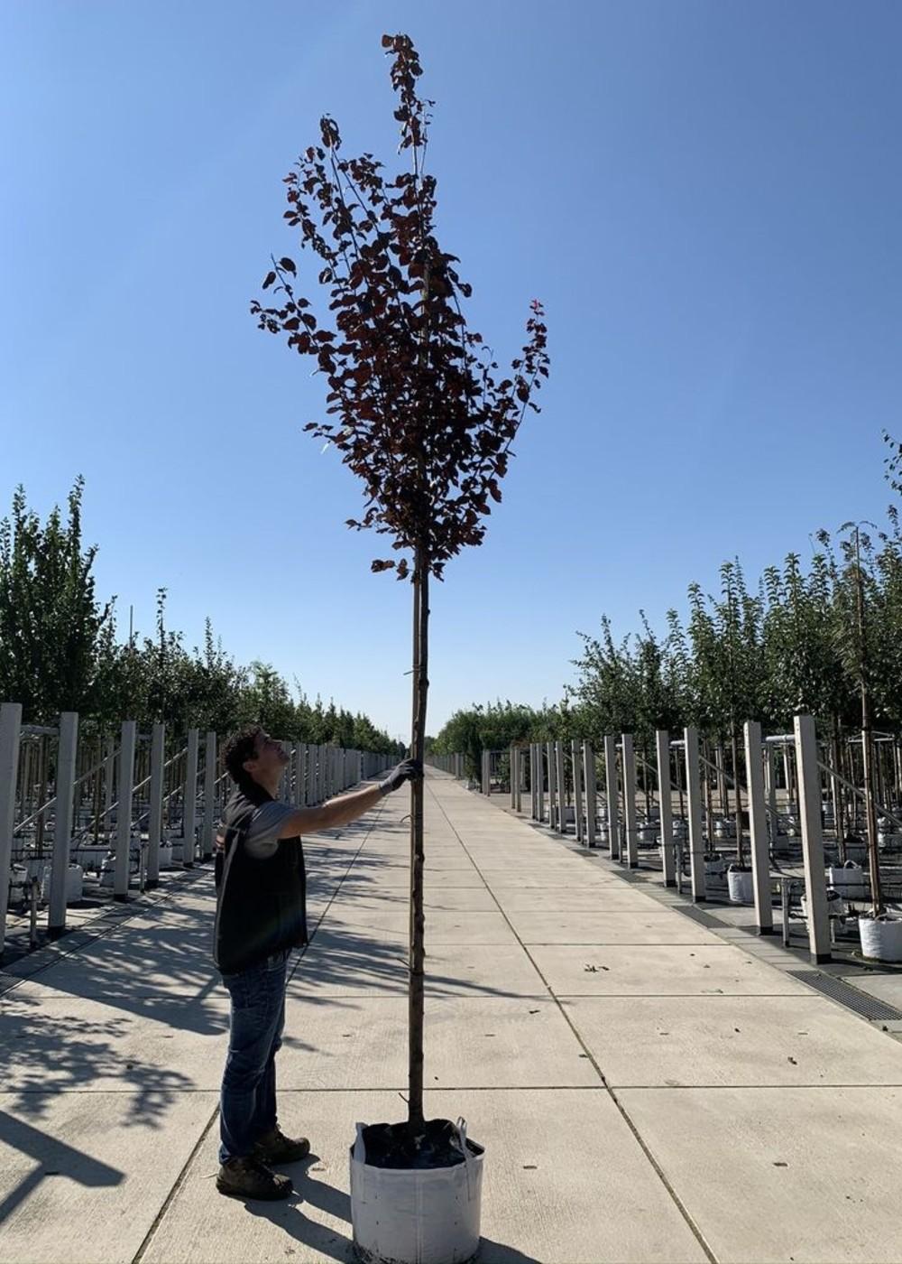 Blutpflaume | Prunus cerasifera Nigra