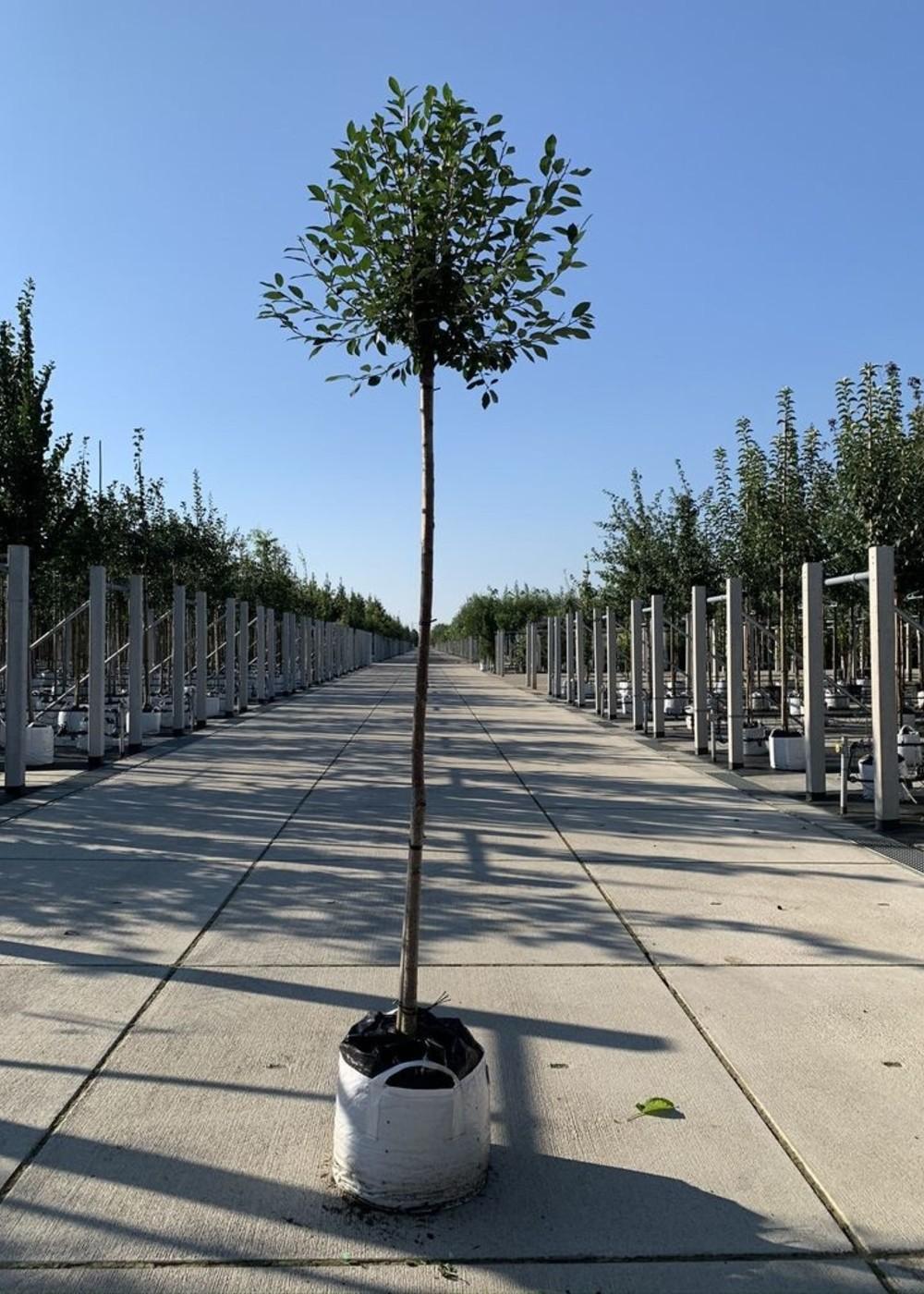 Kugelkirsche | Prunus eminens 'Umbraculifera'