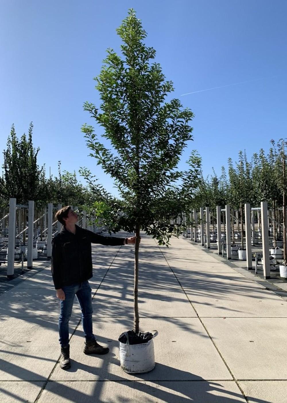 Portugiesische Lorbeerkirsche Brenelia   Prunus lusitanica 'Brenelia'
