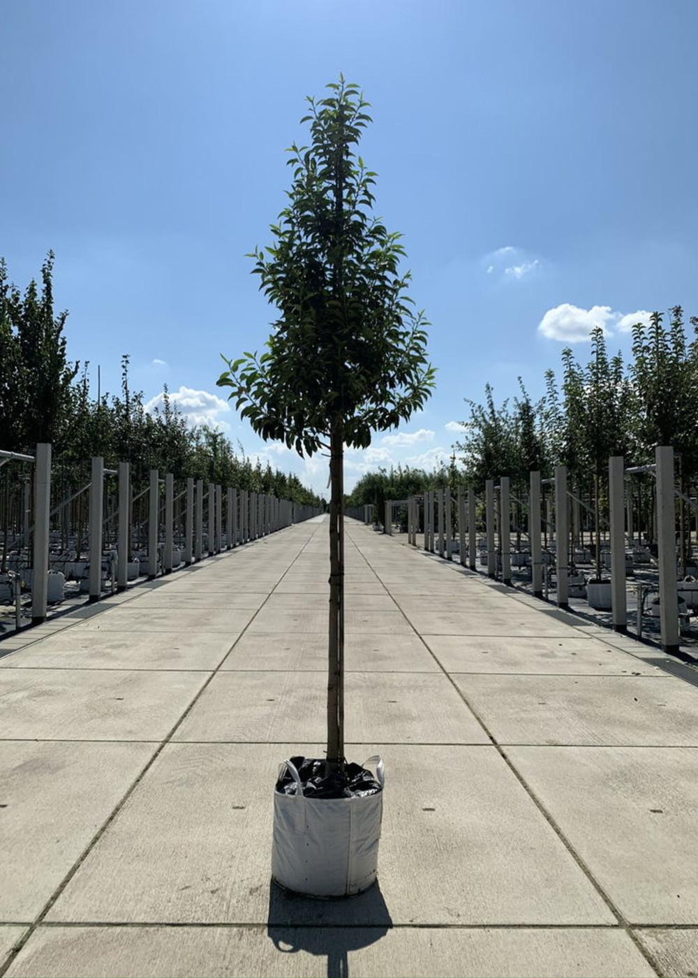 Portugiesische Lorbeerkirsche Angustifolia | Prunus lusitanica 'Angustifolia'
