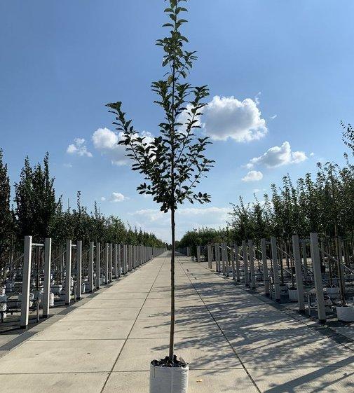 Traubenkirsche | Prunus padus