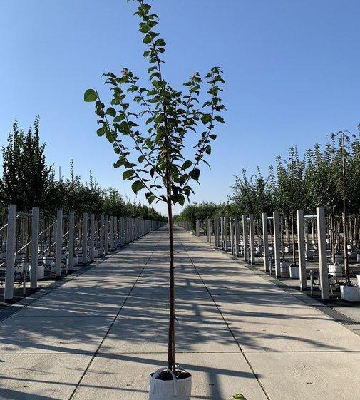 """Berg-Kirsche   Scharlach-Kirsche   Prunus sargentii """"Rancho"""""""