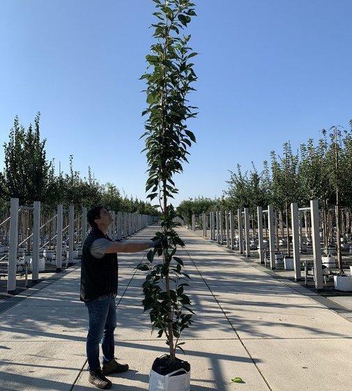 Japanische Säulenkirsche Amanogawa | Prunus serrulata  'Amanogawa'