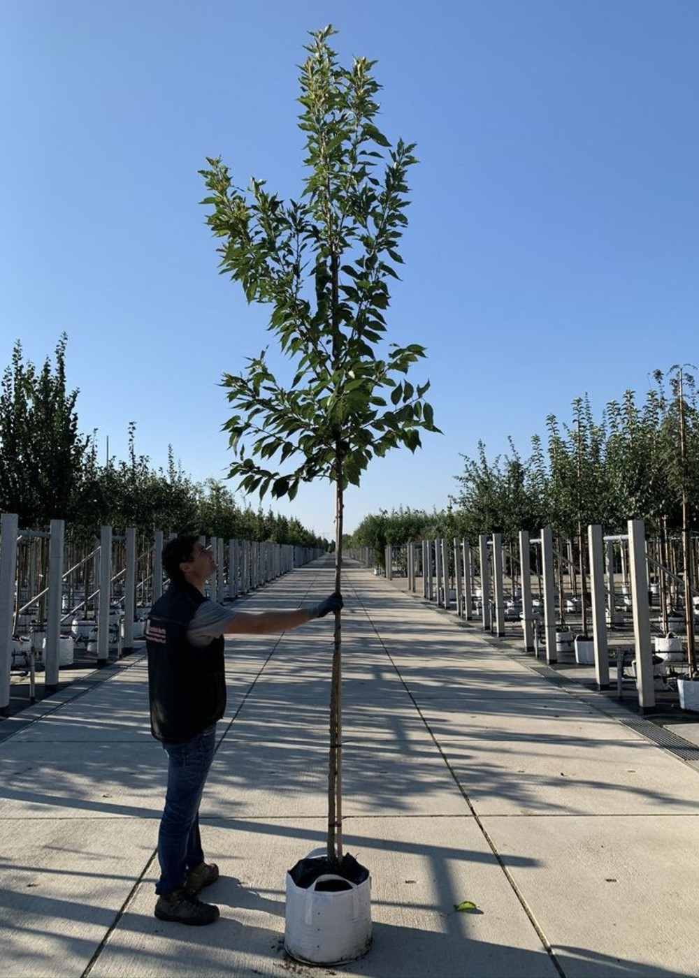 Hellrosa Nelkenkirsche | Prunus serrulata 'Pink Perfection'
