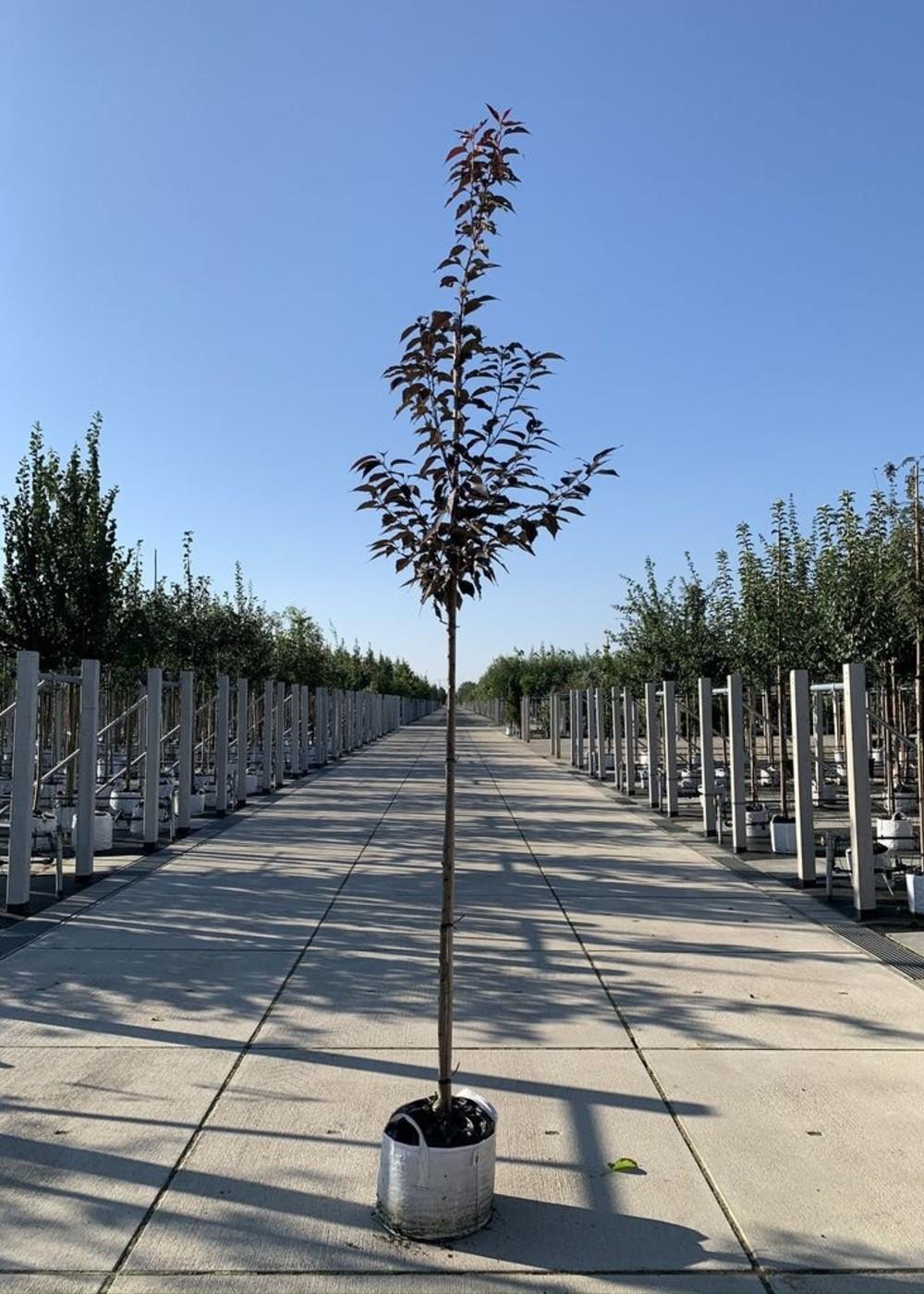 Japanische Nelkenkirsche Royal Burgundy | Prunus serrulata  'Royal Burgundy'