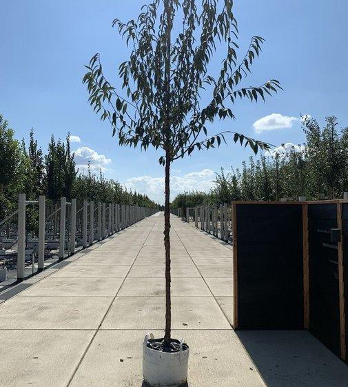 Mahagoni-Kirsche | Prunus serrula