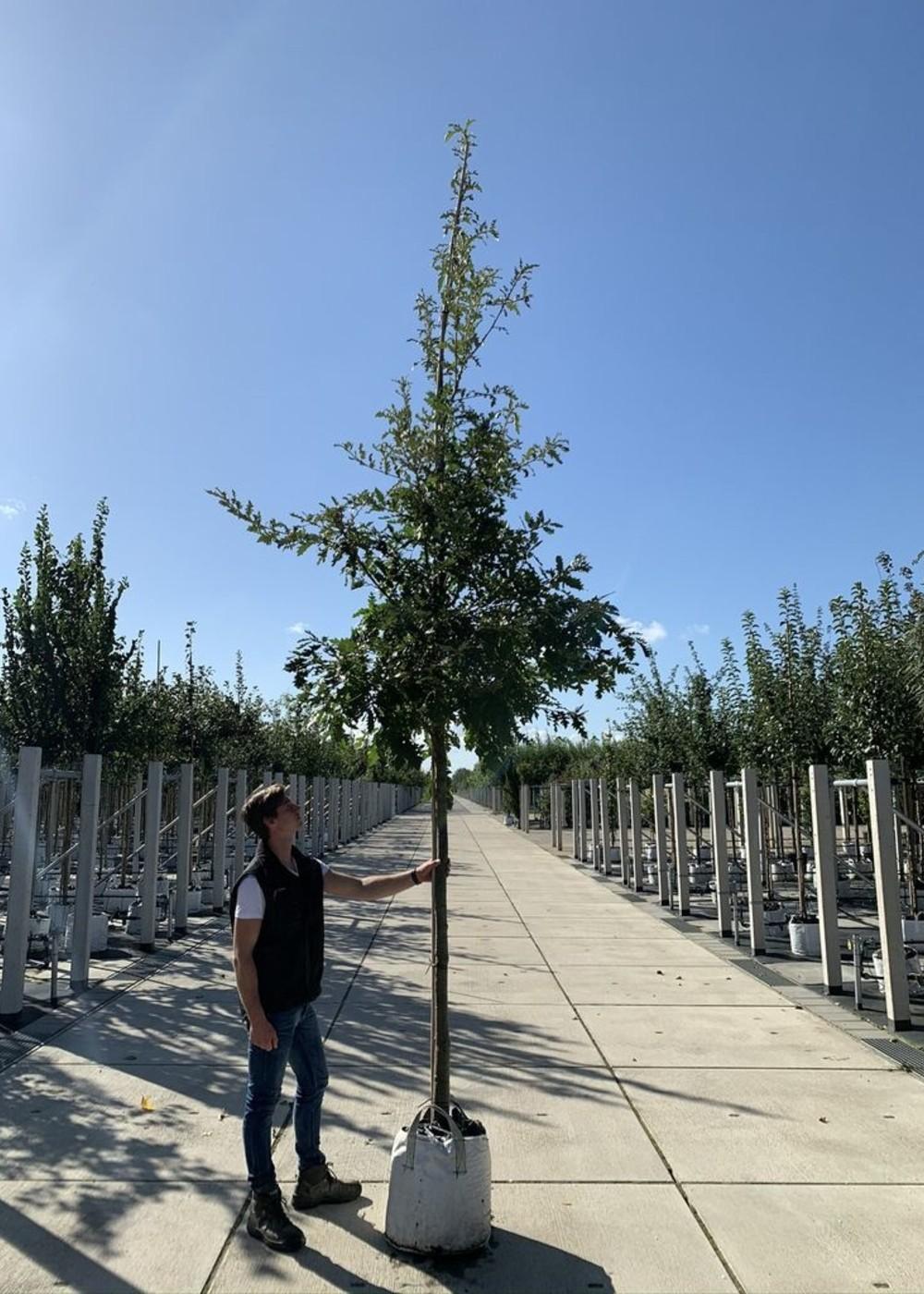 Zerr-Eiche | Quercus cerris
