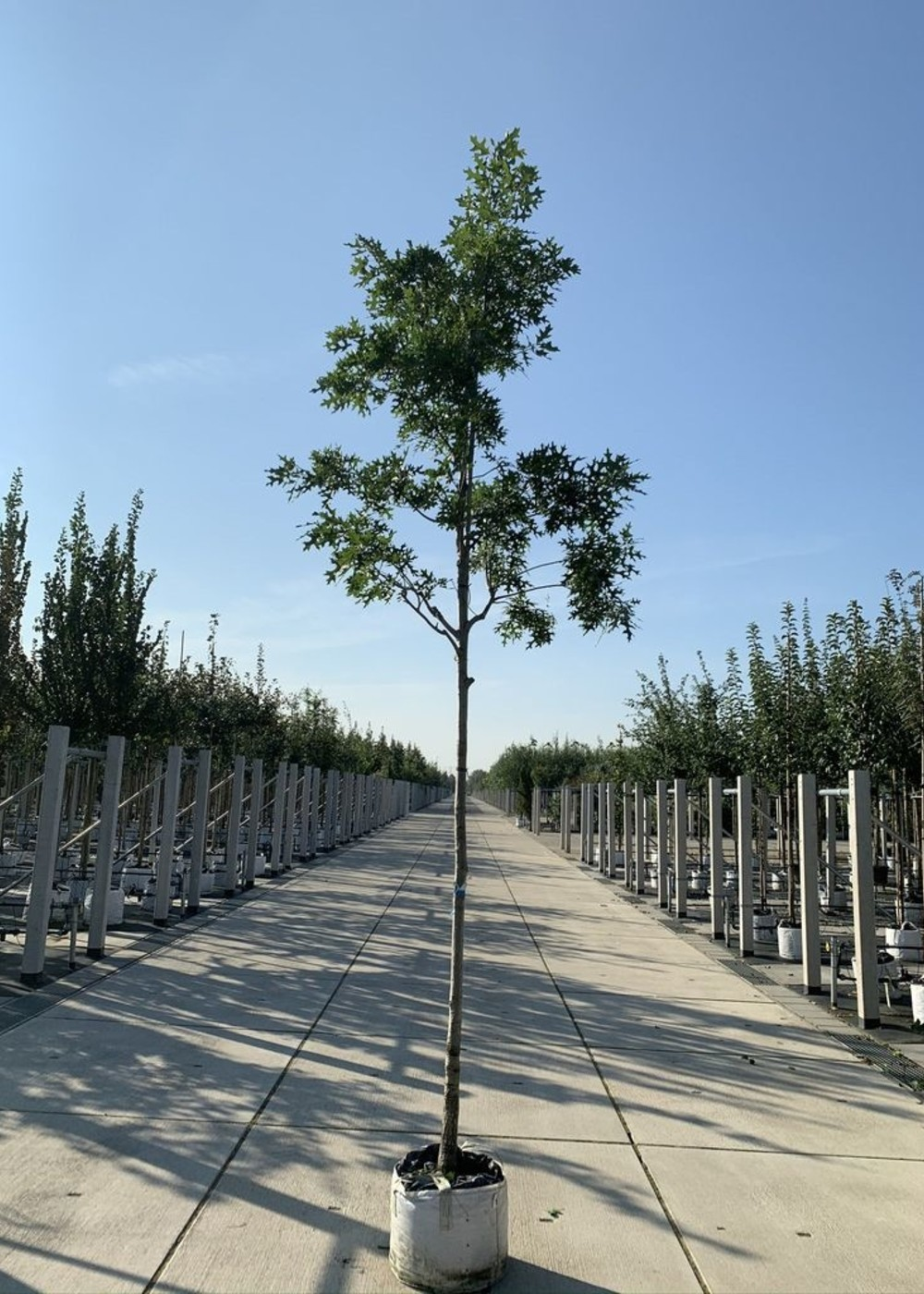 Scharlach-Eiche | Quercus coccinea