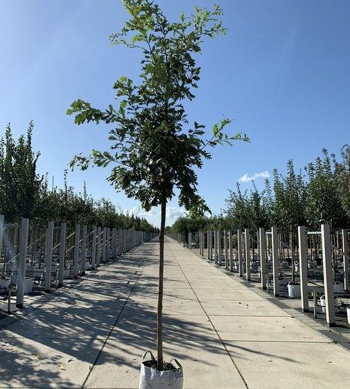 Ungarische Eiche | Quercus frainetto