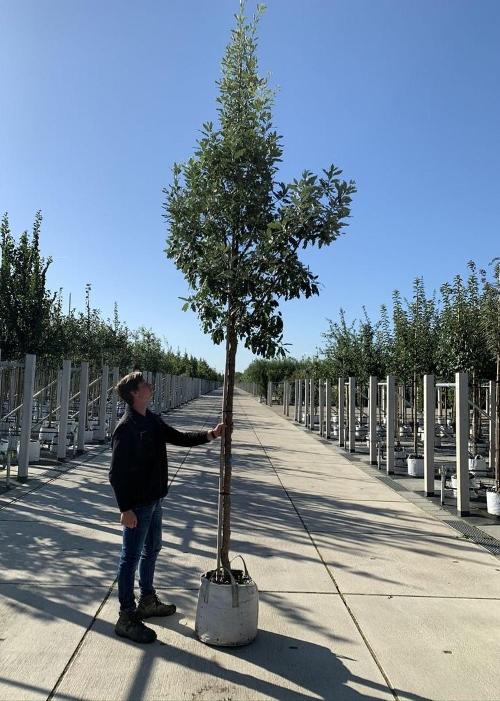 Spanische Eiche Fulhamensis | Quercus hispanica 'Fulhamensis'