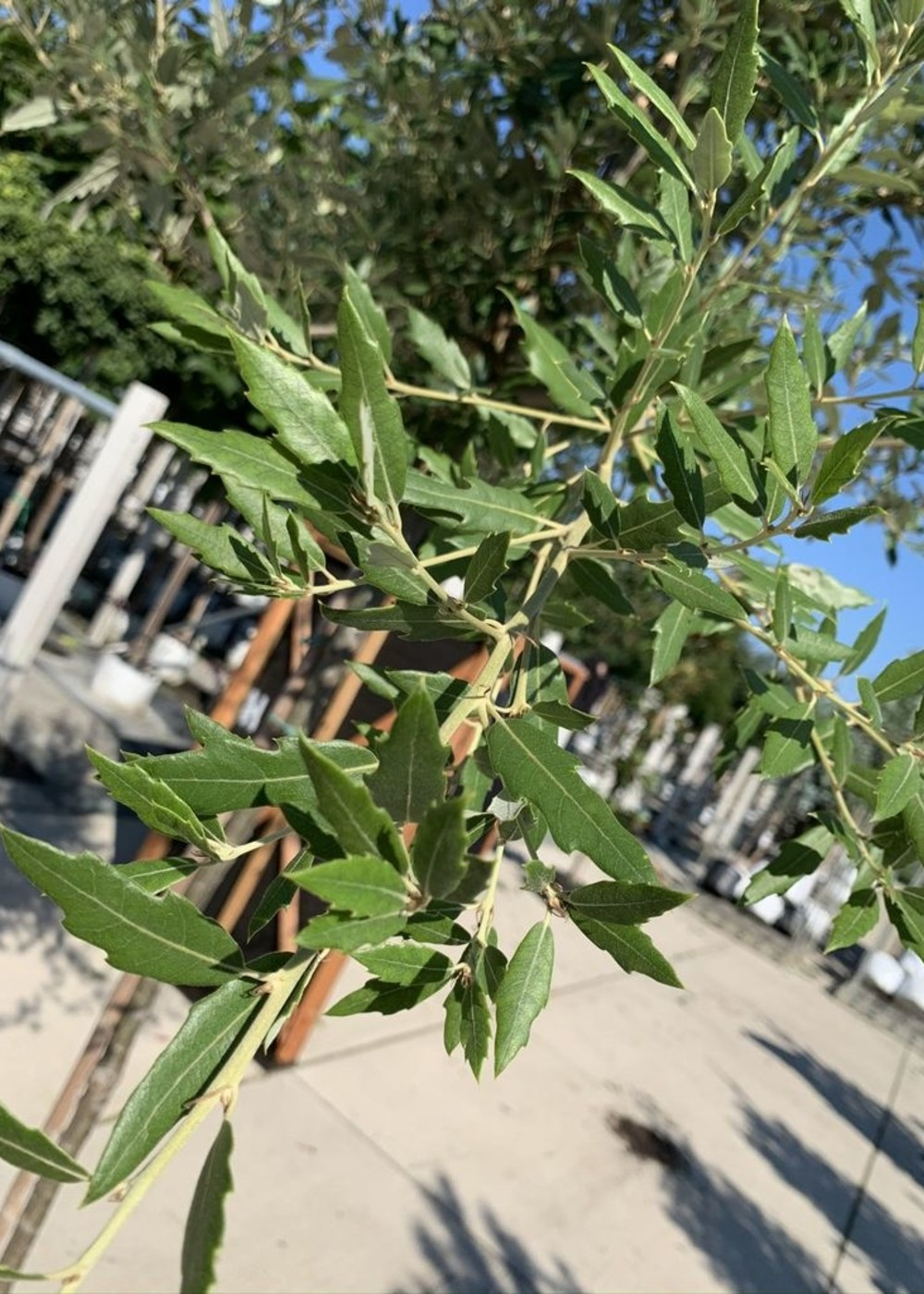 Spanische Eiche Waasland | Quercus hispanica 'Waasland'