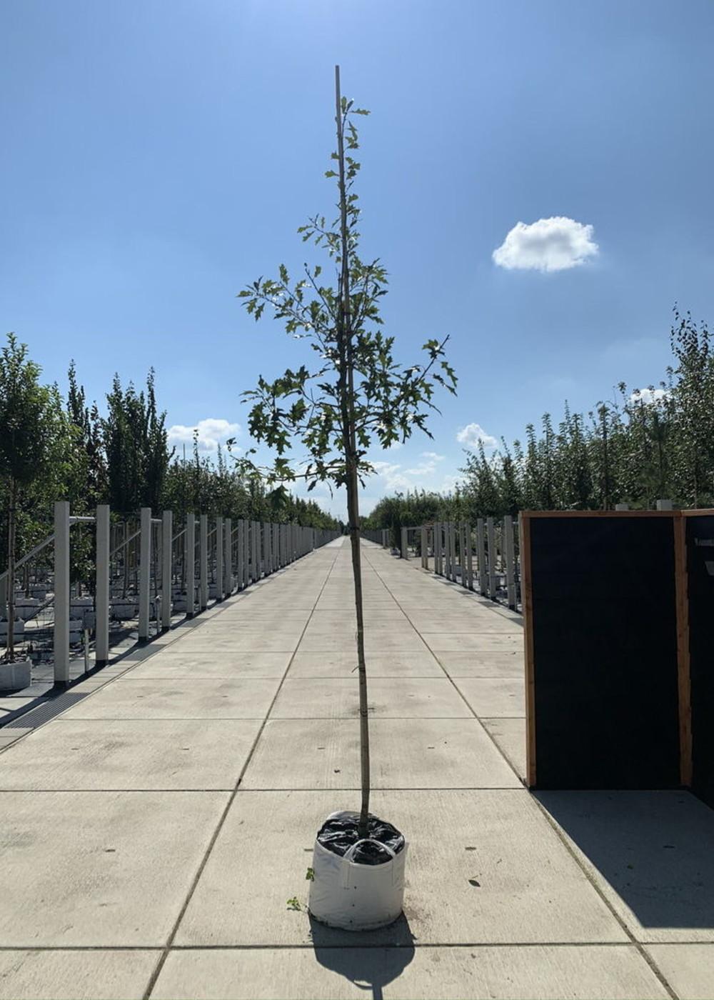 Sumpf-Eiche  Quercus palustris