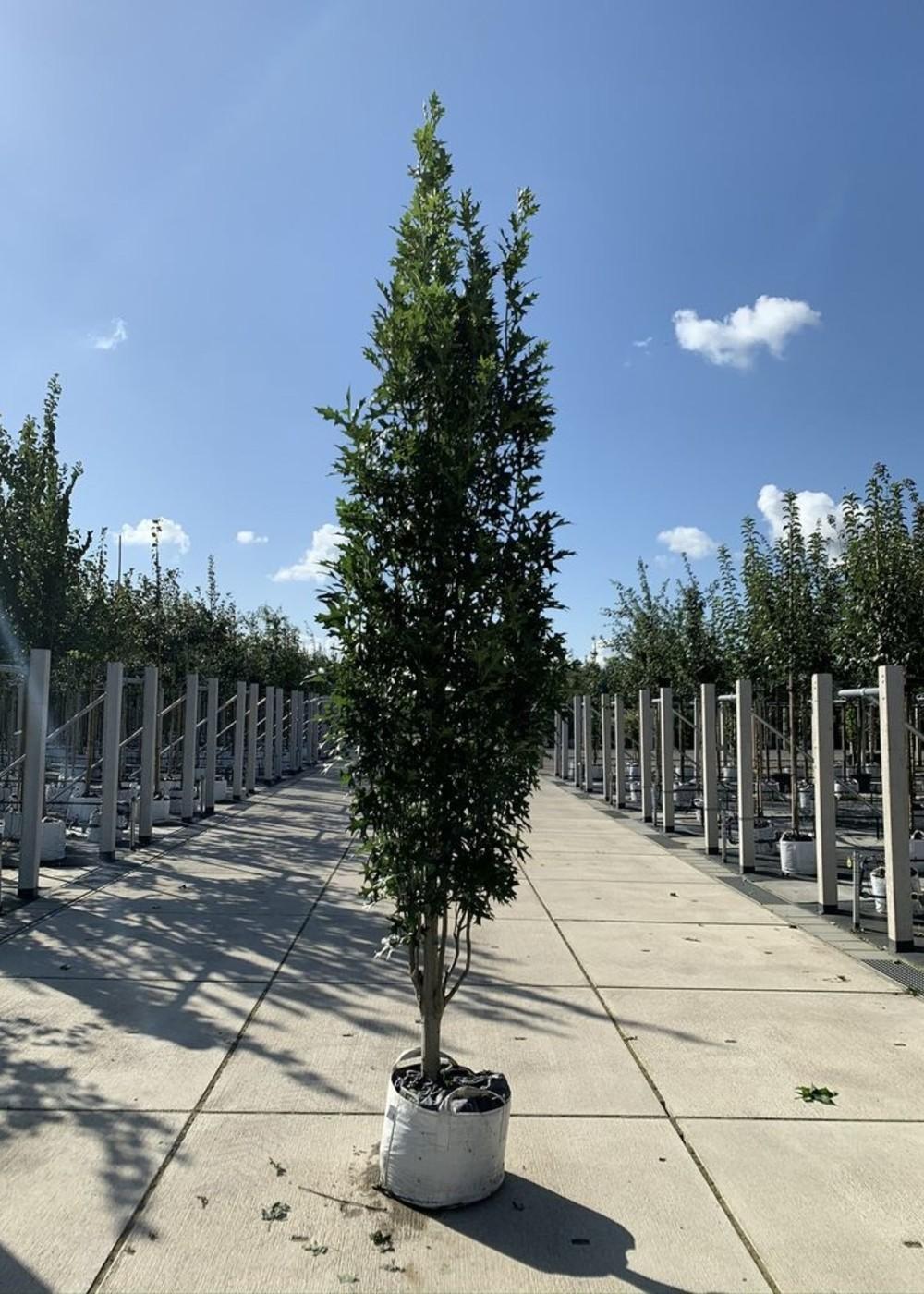 Sumpf-Eiche Green Pillar   Quercus palustris 'Green Pillar'