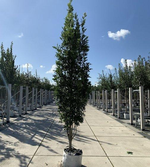 Sumpf-Eiche Green Pillar | Quercus palustris 'Green Pillar'